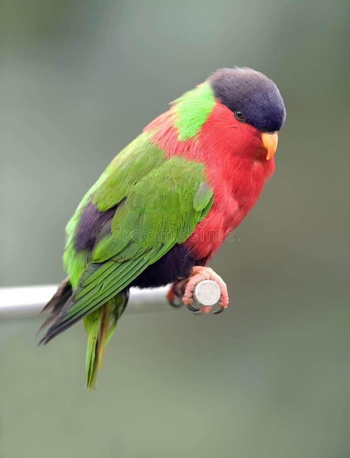 Collared lories, fiji red green bird royalty free stock photos