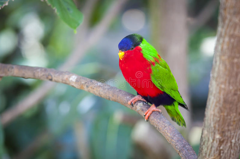 Collared Lory of the Fiji Islands. On a Branch stock photography