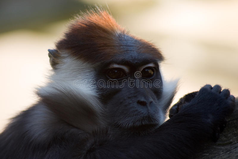 Collared mangabey monkey. Collared mangabey monkey head and shoulders stock photo