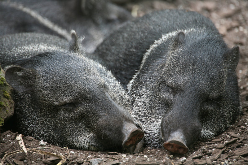 Collared peccaries royalty free stock photography