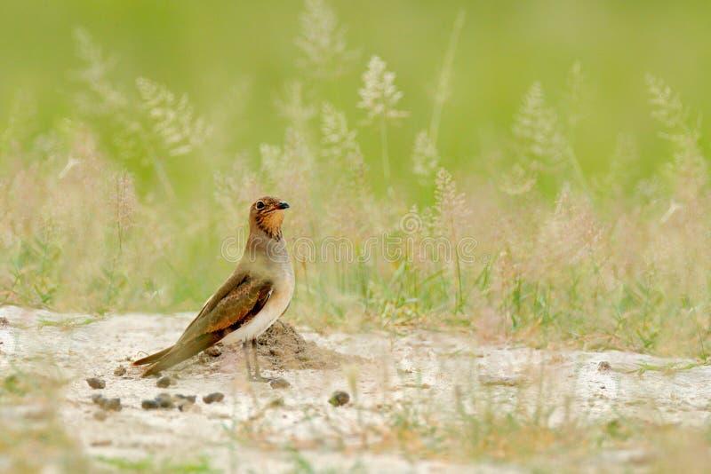 Collared röd-påskyndat pratincole, Glareolapratincola, fågelsammanträde i sandgräset, Moremi, Okavango delta, Botswana Djurlivsc fotografering för bildbyråer