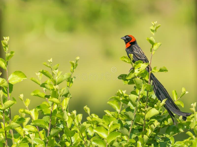 Collared rood widowbird stock foto