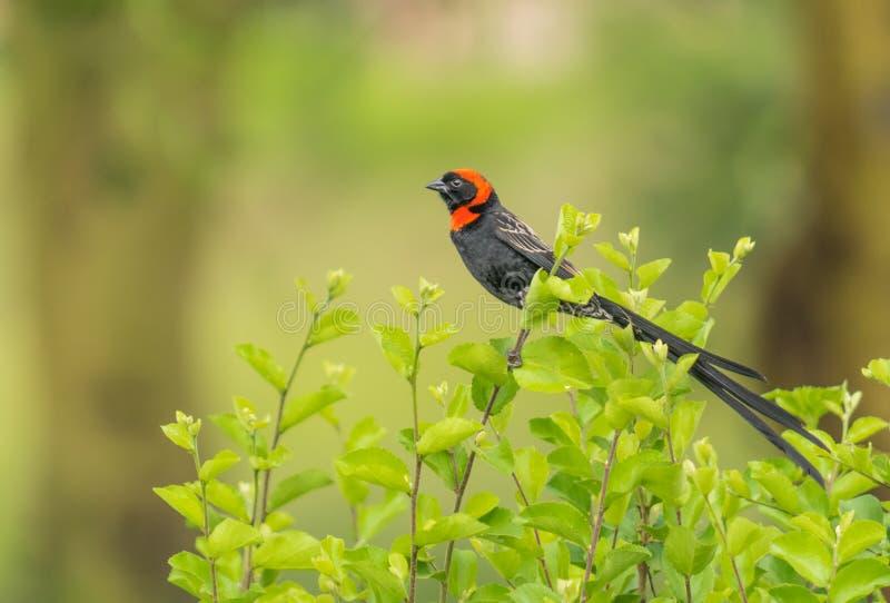 Collared rood widowbird stock fotografie