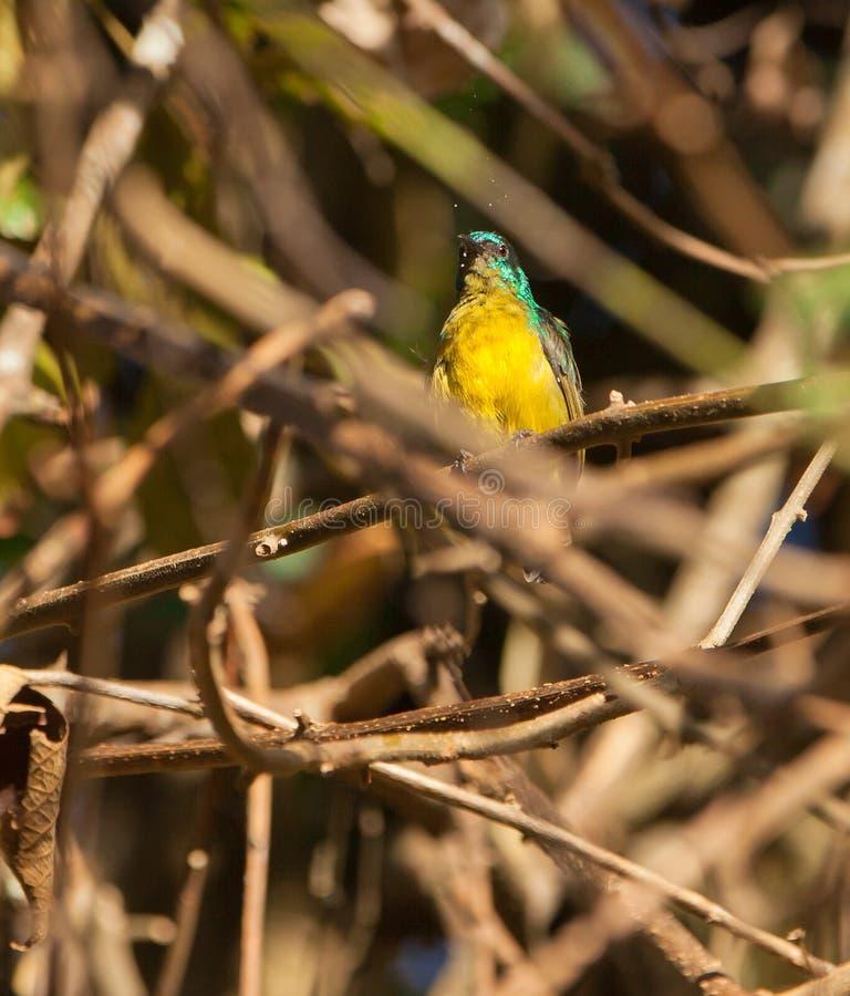 collared sunbird падений росы стоковое изображение rf