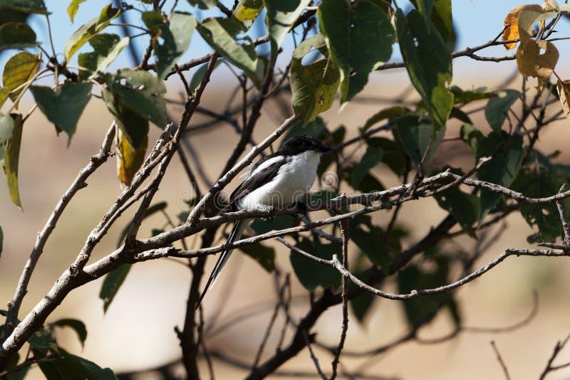 Collaris fiscaux communs de Lanius dans un arbre photographie stock