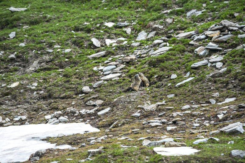 Colle Dell Agnello :两groundhogs 库存图片