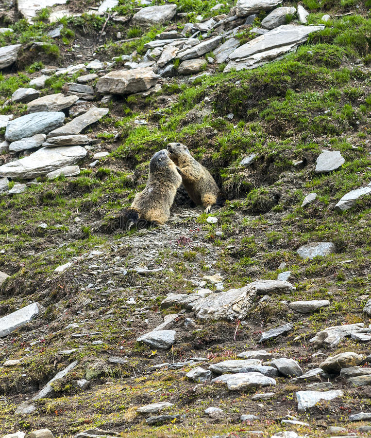 Download Colle Dell'Agnello: Two Groundhogs Playing Stock Images - Image: 33732094