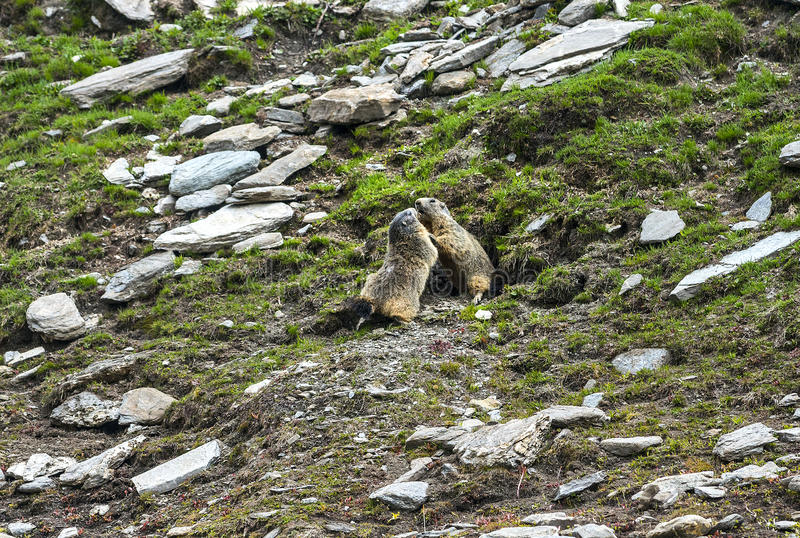 Download Colle Dell'Agnello: Two Groundhogs Stock Image - Image: 33608397
