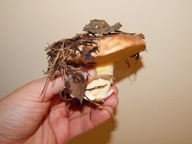 Collect mushrooms in the country royalty free stock photo