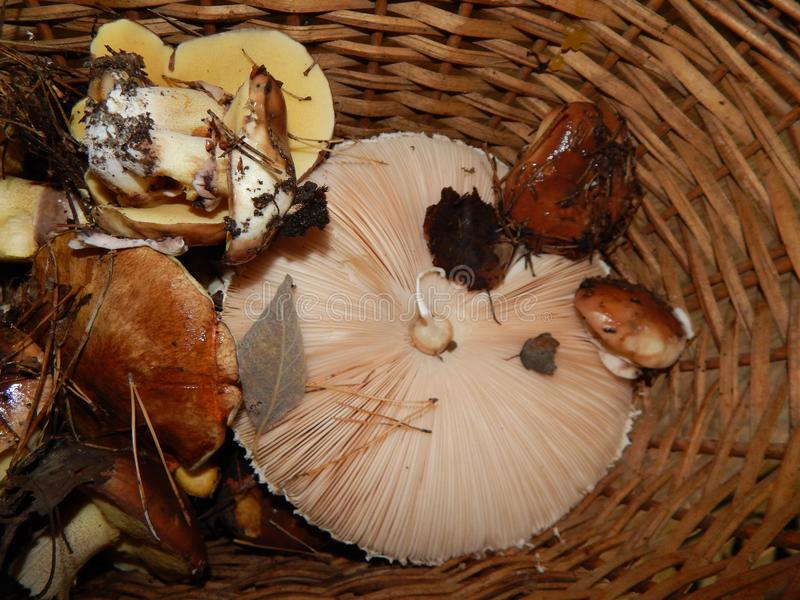 Collect mushrooms in the country stock photos