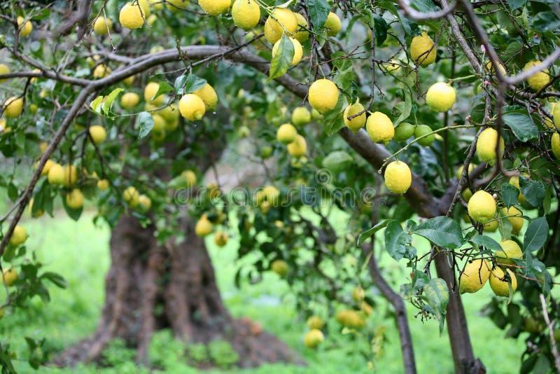 Collecte de citron photo libre de droits