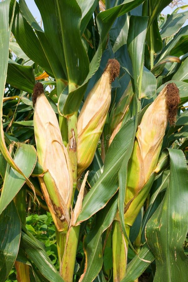 Collecte de maïs image stock