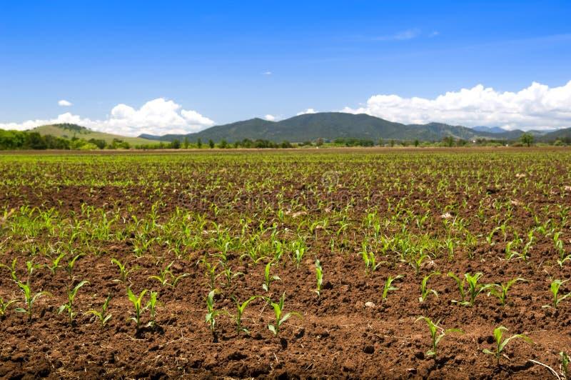 Collecte de maïs de germination images stock