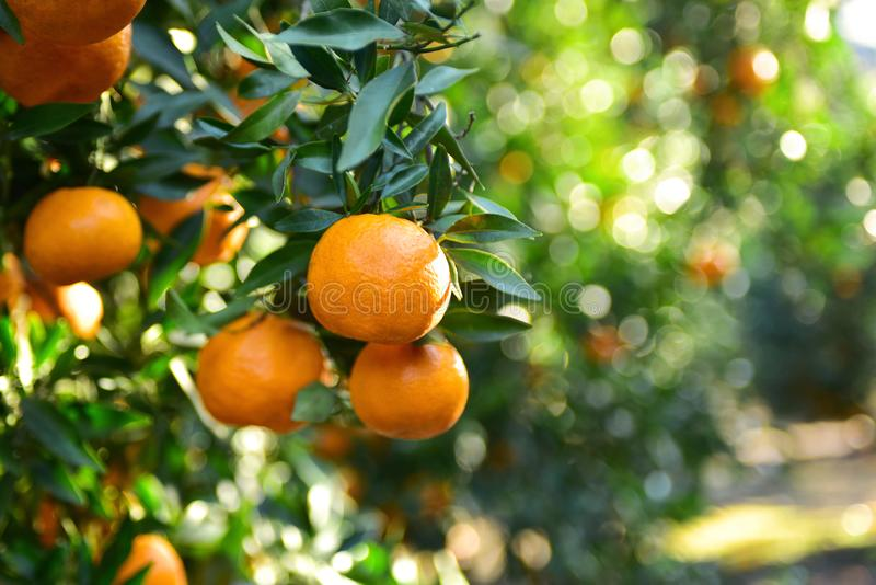 Collecte de mandarines dans le verger photos stock