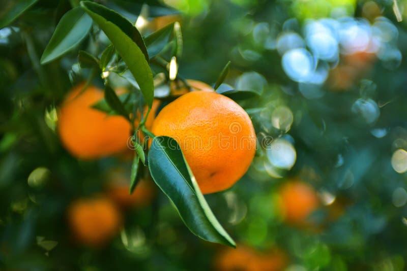 Collecte de mandarines dans le verger image stock