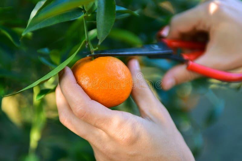 Collecte de mandarines dans le verger photo libre de droits