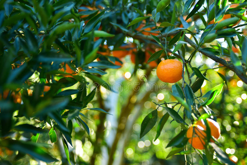 Collecte de mandarines dans le verger photos stock