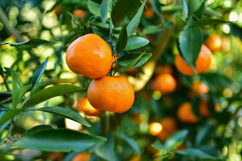 Collecte de mandarines dans le verger photographie stock libre de droits
