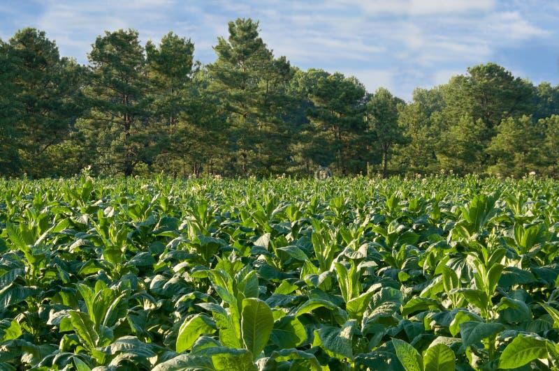 Collecte de plante de tabac dans le domaine photographie stock