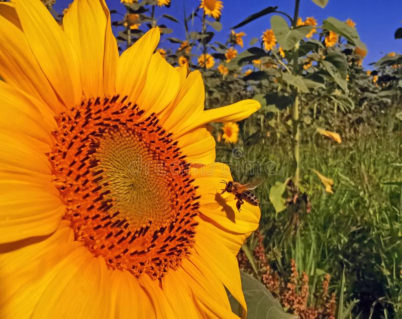 Collecte de pollen d'un tournesol photo libre de droits