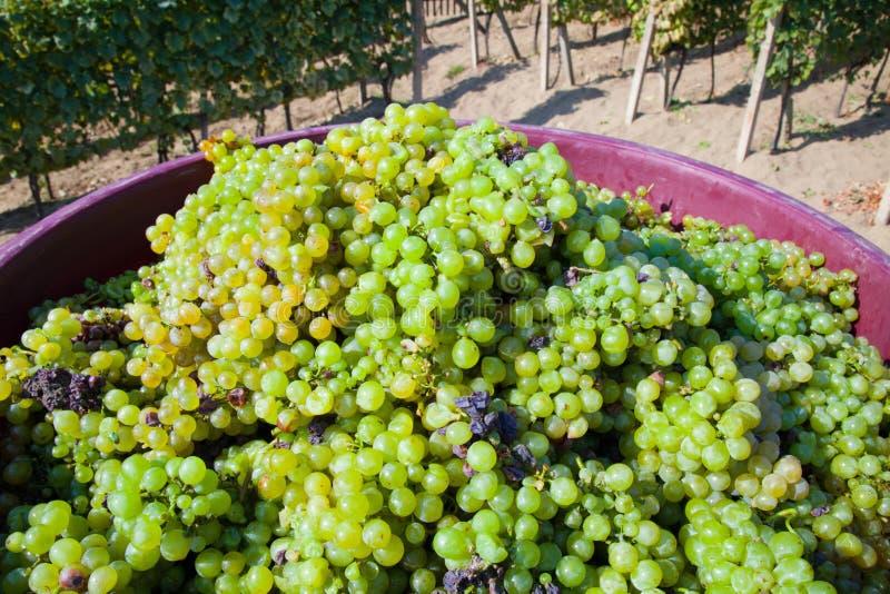 Collecte de vigne photographie stock libre de droits