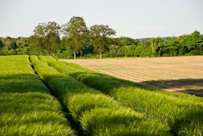 Collecte de zone et de blé de maïs images stock