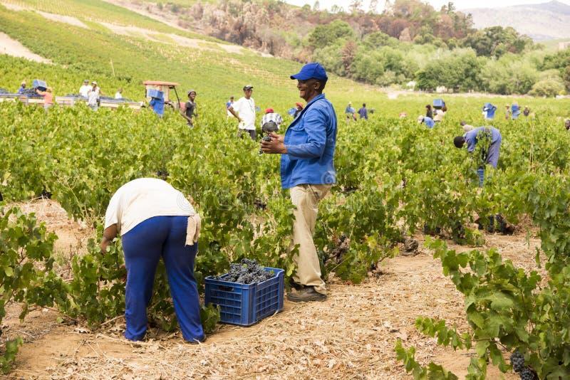 Collecte du vin image libre de droits