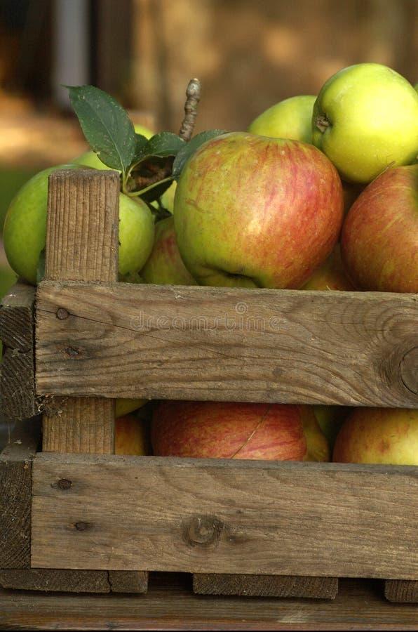 Collecte neuve des pommes dans une vieille caisse image libre de droits