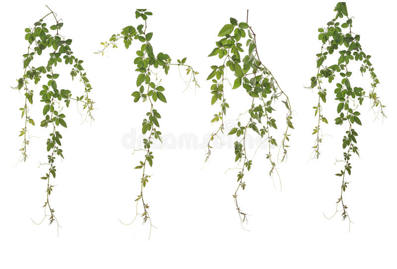 Collected Cayratia Japonica isolated on white background. Original size Full Frame of the Collected Cayratia Japonica isolated on white background Cayratia stock photography