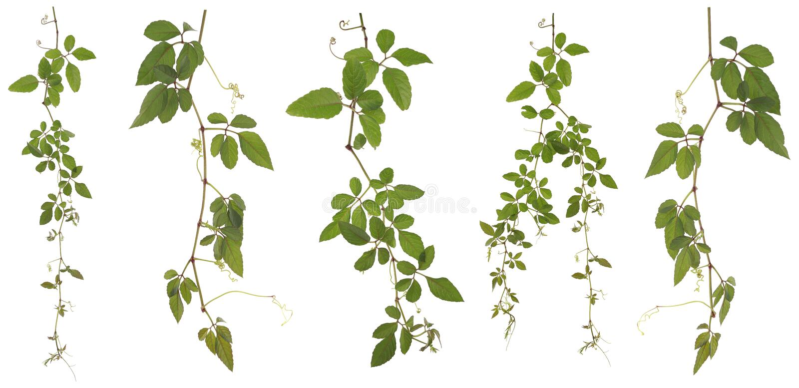 Collected Cayratia Japonica isolated on white background. Original size Full Frame of the Collected Cayratia Japonica isolated on white background Cayratia stock photos