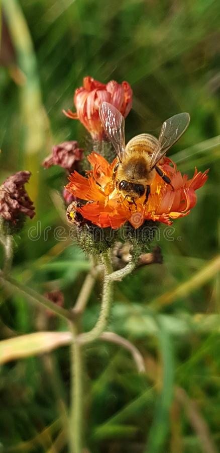 Collecting bee macro world 1. Bee macro  1. bee macro , nature, insect, nectar royalty free stock images