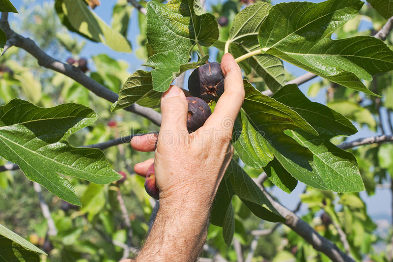 Hand Collecting Figs Royalty Free Stock Photography
