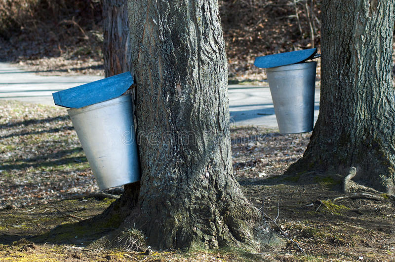 Collecting maple syrup royalty free stock image