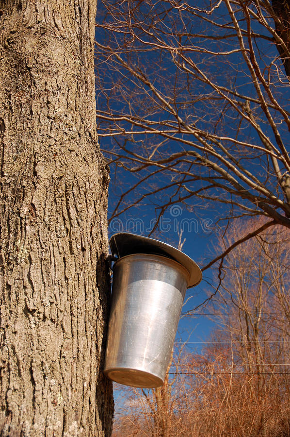 Collecting Maple Syrup. A sugar maple tree ids tapped in the initial process to produce maple syrup royalty free stock images