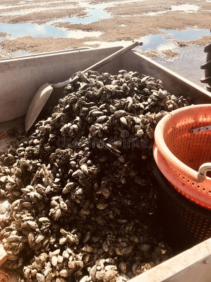 Beach mussels farm food collect self sufficient farmer seas food vacation holiday. Collecting mussels on beach royalty free stock photo