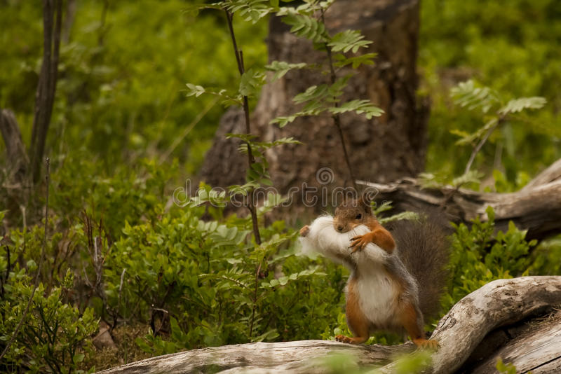 Collecting. A squirrel collecting nesting material royalty free stock photo