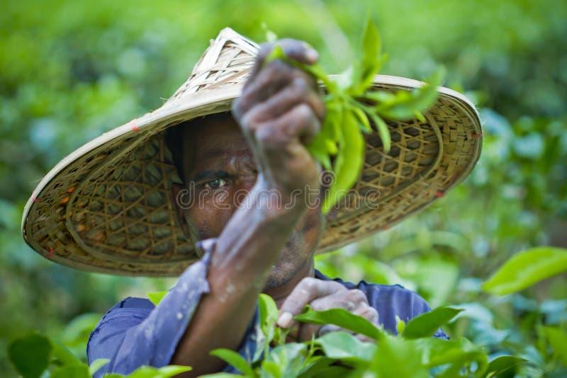 Collecting Tea Plant. A farmer harvest green tea bush. Moulvibazar, bangladesh stock image