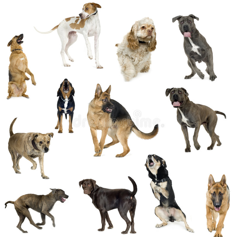 Collection of 12 dogs in different positions. Collection of 12 dogs of different sizes and in different positions in front of a white background stock photo