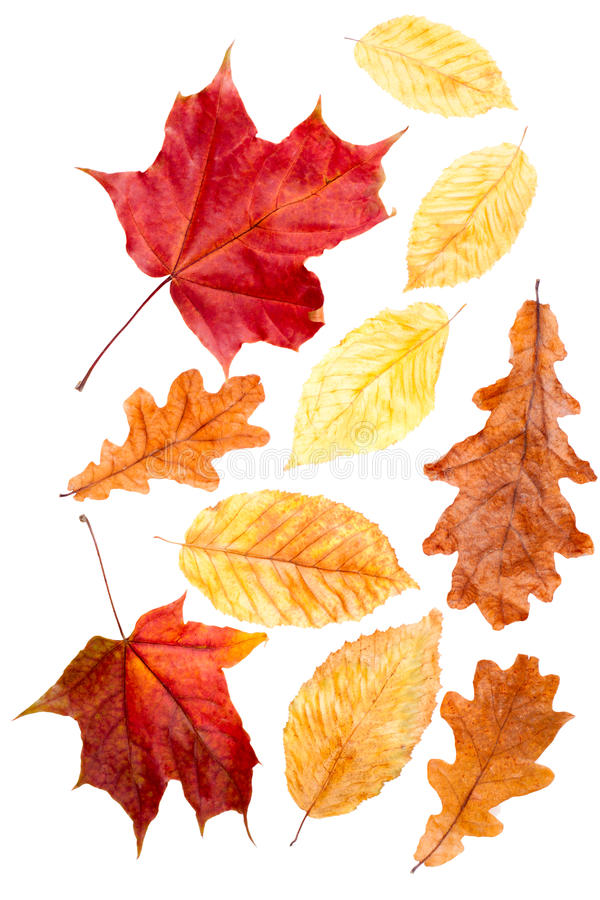 Collection autumn leaves royalty free stock image