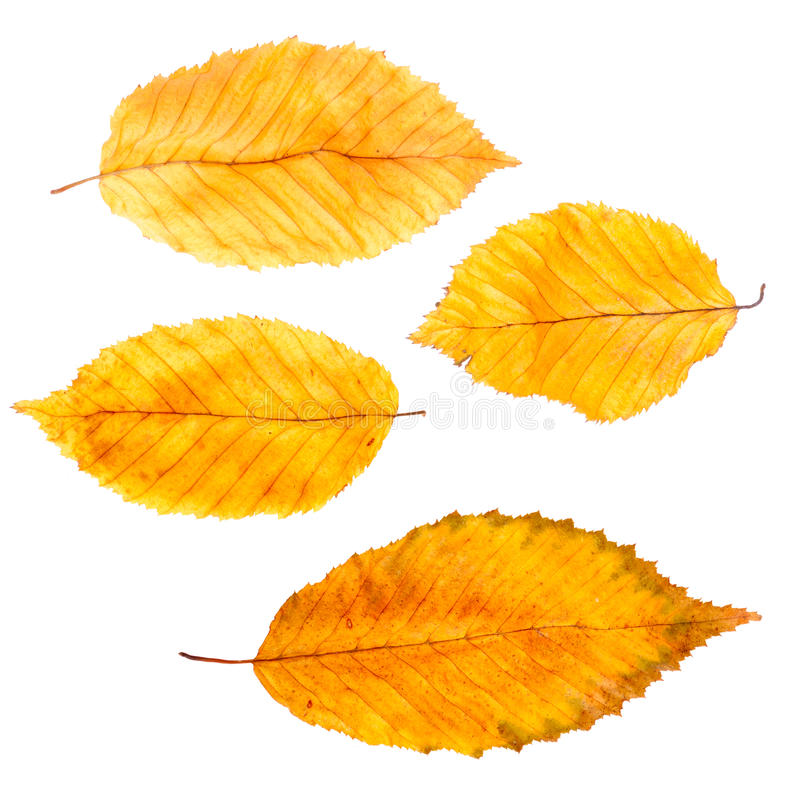 Collection autumn leaves royalty free stock photos