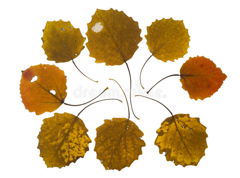 Collection autumn leaves of asp tree royalty free stock images