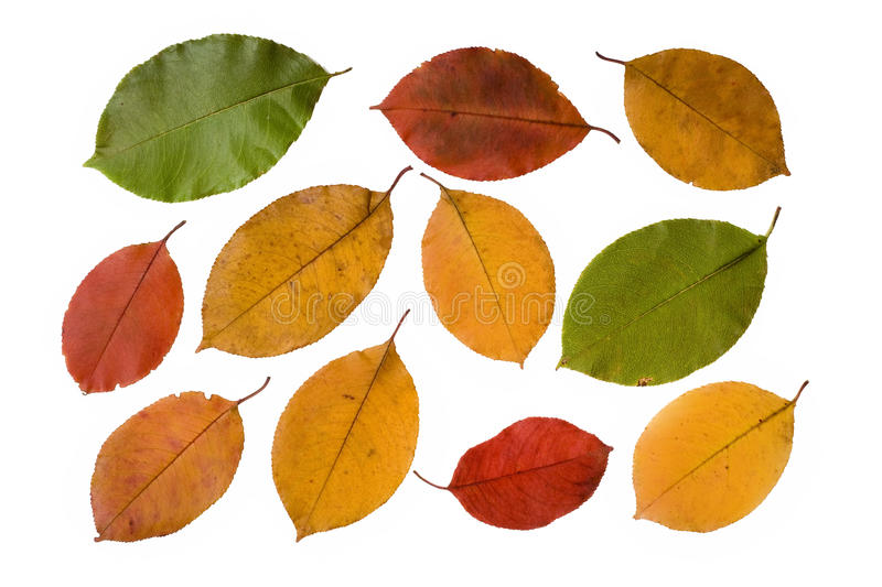 Download Collection Autumn Leaves Isolated On White Stock Photo - Image: 16464118