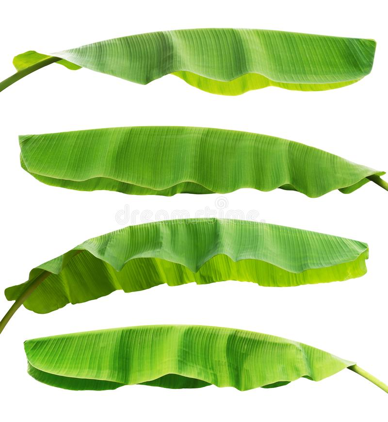 collection banana leaf isolate on white background royalty free stock photography