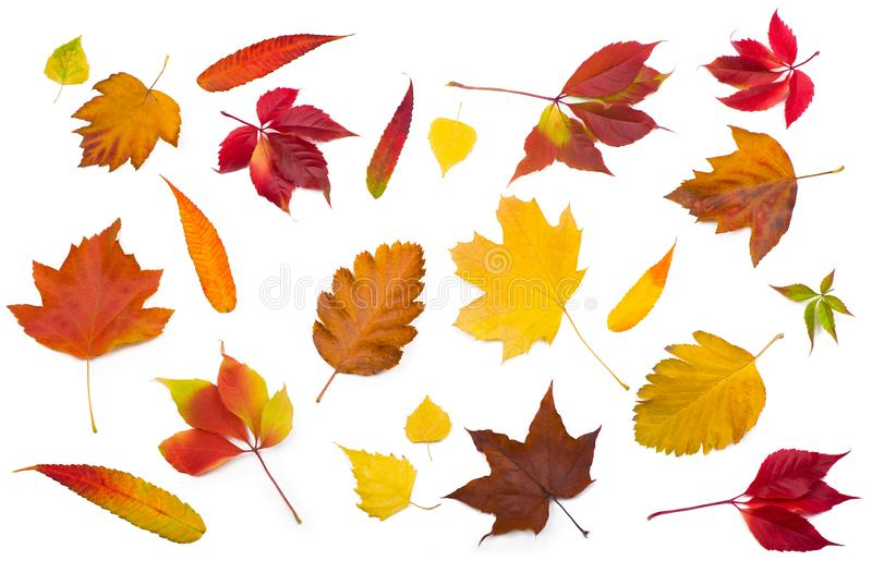 Collection beautiful colorful autumn leaves isolated on white background royalty free stock image