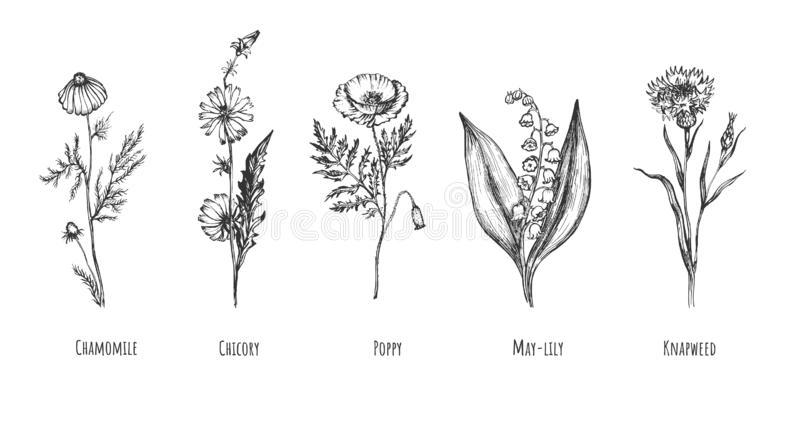 Collection of beautiful wild herbs royalty free illustration