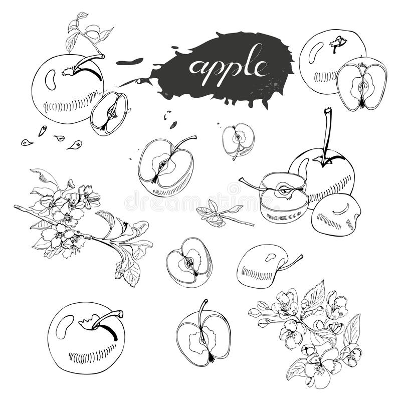 Collection of blossoming branch of apple tree, abstract spot, lettering and whole and sliced apples. Hand drawn sketch of malus f vector illustration