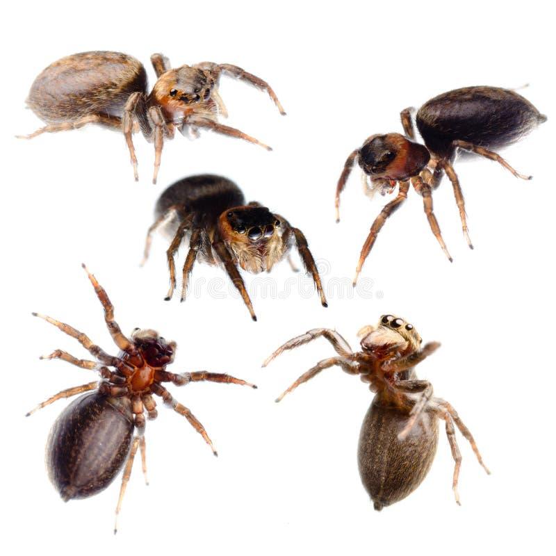Collection branchante d'araignée image libre de droits
