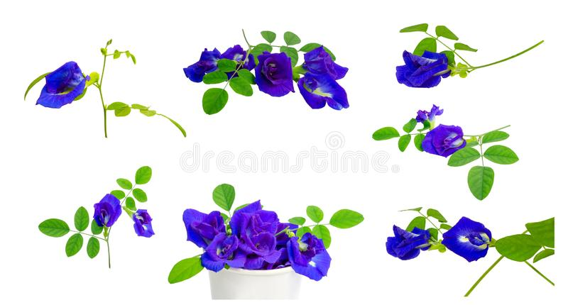Collection of branches beautiful blue Butterfly pea and green leaf, known as bluebell vine or Asian pigeon wings isolated. Collection of branches beautiful blue stock photo