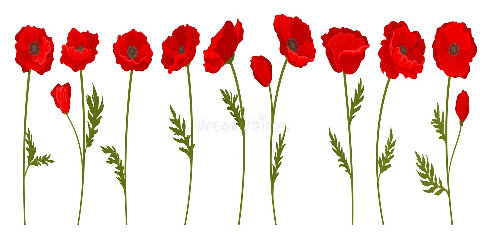 Collection of bright blooming red poppy flowers with stems and leaves, floral design element vector Illustration on a royalty free illustration