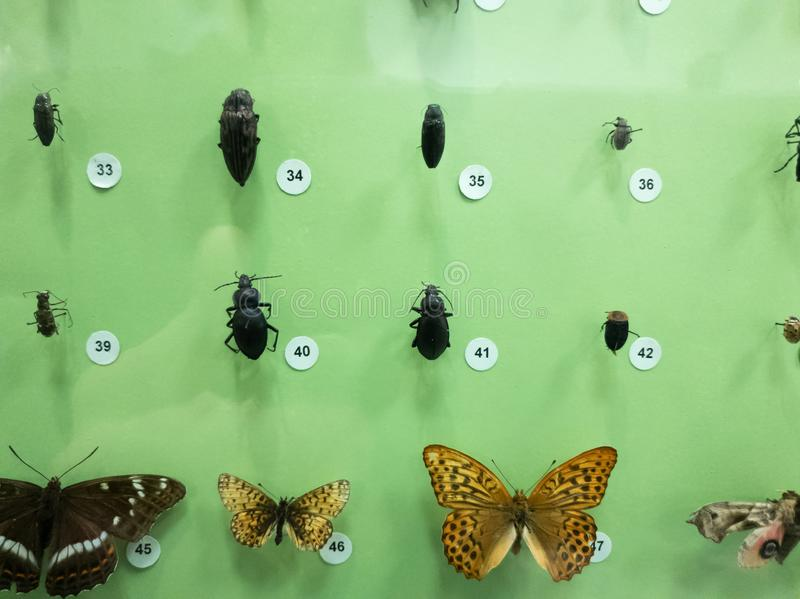 A collection of butterflies and beetles close-up behind glass royalty free stock photography